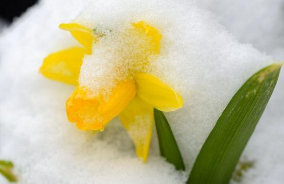 Snow Daffodil
