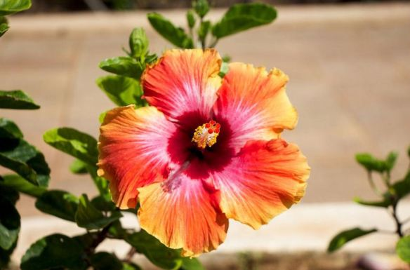 Hibiscus Bloom