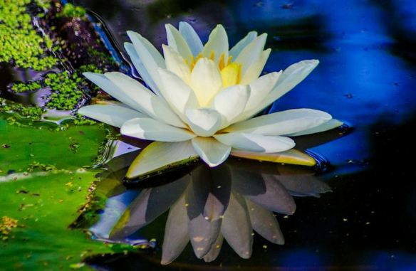 Floating Lotus Blossom