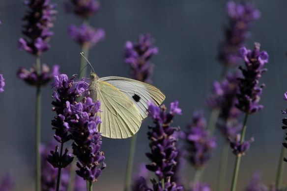 Lavender & Butterfly