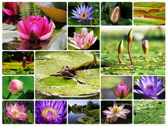 Water Lilies Collage
