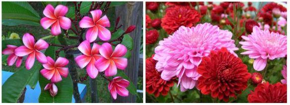 Plumeria & Chrysanthemums
