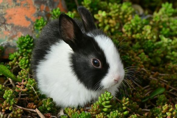 Black & White Bunny