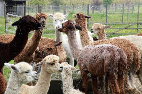 Multicolor Alpacas
