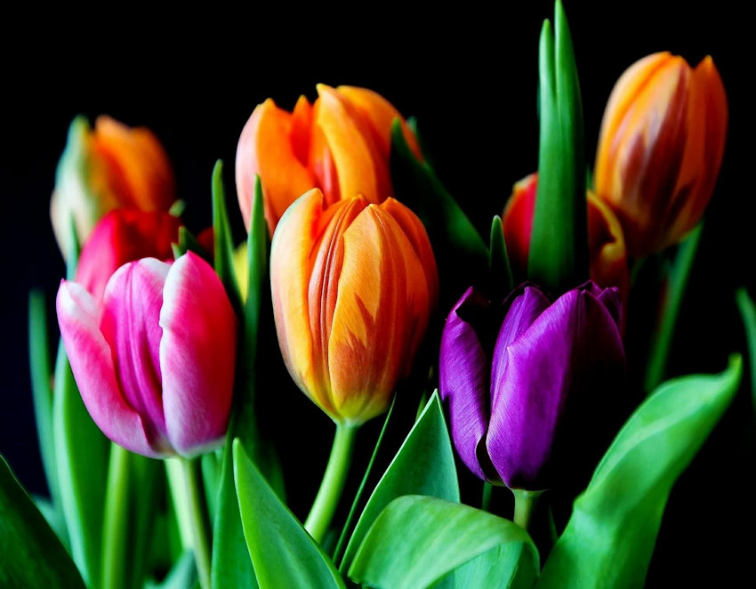 Mulicolor Tulips